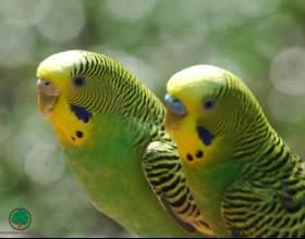 Как лечить волнистого попугая фото