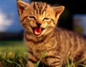 Как мяукают кошки фото