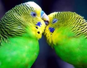 Как можно научить волнистого попугая разговаривать фото