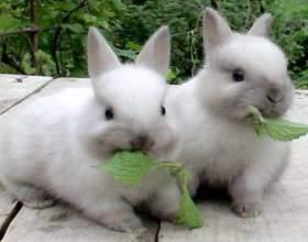 Как вывести блох у кролика фото