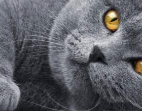 Как вязать британских кошек фото