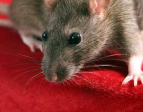 Как мыть крыс фото