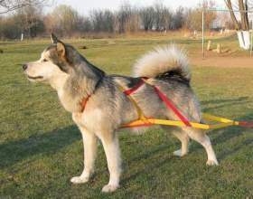 Как надеть шлейку на собаку фото