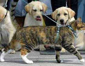Как надевать поводок на кота фото