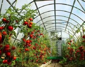 Как надо сажать помидоры в теплицу фото