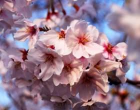 Как нарисовать цветок сакуры фото