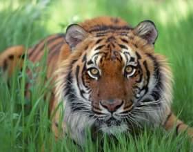 Как нарисовать морду тигра фото