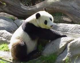 Как нарисовать панду фото