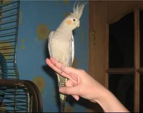 Как научить попугая садиться на руку фото