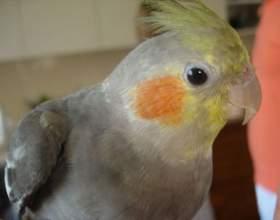 Как научить говорить попугая-кореллу фото