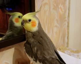 Как научить разговаривать попугая кореллу фото