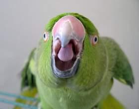 Как научить попугая говорить фото