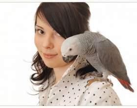Как научить попугая-неразлучника говорить фото