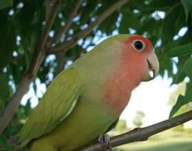Как научить говорить попугая-неразлучника фото