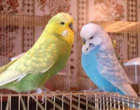 Как научить попугая летать фото