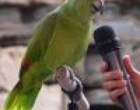 Как научить попугая разговаривать легко фото