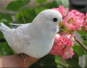 Как научить волнистого попугая садиться на руку фото