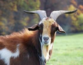 Как назвать козу фото