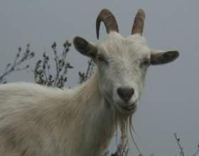 Как вырастить козу фото