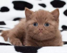 Как назвать британского котенка -девочку фото