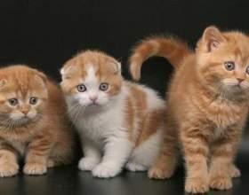 Как назвать вислоухую кошку фото