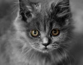 Как назвать британского кота фото