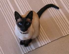 Как назвать сиамского кота фото