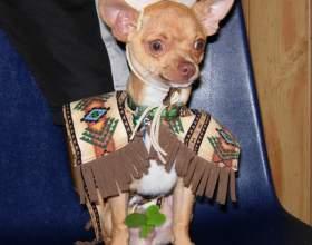 Как назвать собаку-чихуахуа фото