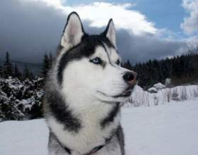 Как назвать собаку хаски фото