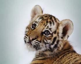 Как назвать тигренка фото