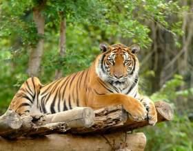 Какие тигры водятся в индии фото