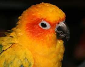 Как обучить попугая говорению фото