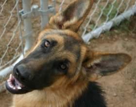 Как сделать родословную для собаки фото