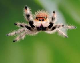 Как охотятся пауки-скакунчики фото