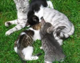 Как определить, беременна ли кошка фото