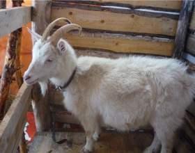 Как определить беременность козы фото