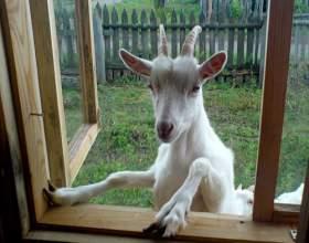 Как содержать козу фото