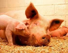 Как определить беременность свиньи фото