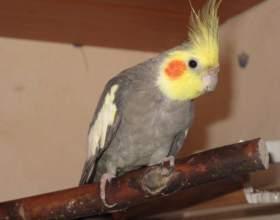 Как определить болезнь у волнистого попугая фото