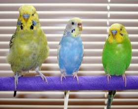 Как определить, молодой попугай или нет фото