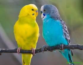 Как определить, сколько лет попугаю фото