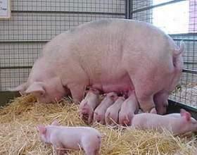 Как определить вес свиньи фото