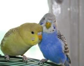 Как определить возраст и пол попугаев фото