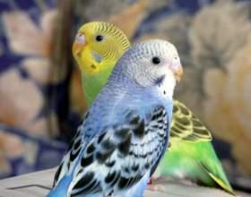 Как определить возраст попугайчика фото
