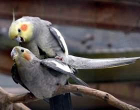 Как определить возраст попугая корелла фото