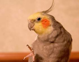 Каким способом определить возраст попугая корелла фото