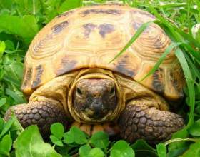Как определить возраст сухопутной черепахи фото