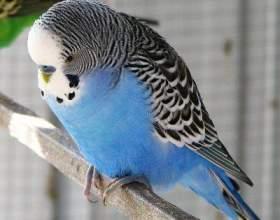Как определить возраст волнистого попугая фото