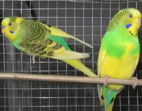 Как определить возраст волнистого попугайчика фото