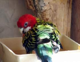 Как организовать купание попугаю фото